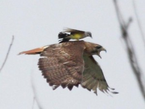 Kingbird Riding a Red Tailed Hawk