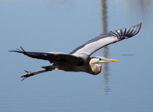 Great Blue Heron - Beauty in Motion